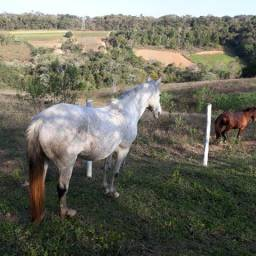 Cavalos da raça Luzitano a venda!!