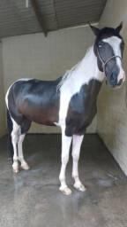 Vendo cavalo mangolino 5 anos