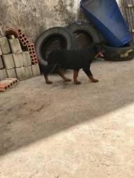 Rottweiler Rotwailler