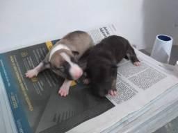 Filhotes de bull terrier para reserva!!!