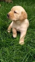 Filhotes Labrador/ Canil canaã/ Roraima