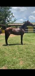 Cavalo Mangalarga Marchado
