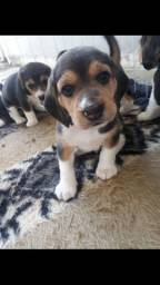 Filhote macho de Beagle