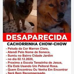 Procura-Se Cachorrinha Chow Chow Em Parauapebas
