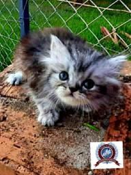 Filhote de Gato Persa - macho