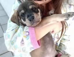 Labrador para doação (Sou de palmeira dos índios)