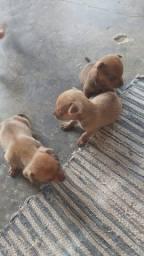 Vendo filhotes de pinscher macho R$ 400,00
