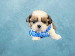 Shih Tzu MINI com assistência veterinária, só na Mini Mundo Pet