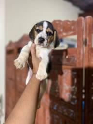 Beagle Femea tricolor com pedigree cbkc