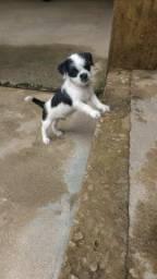Shih tzu com chihuahua macho, 2 meses