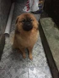 Cachorro Chow-chow filhote 9 meses
