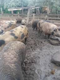 Porcas com Cria