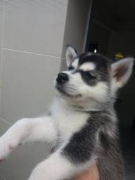 Filhote Cinza de Husky Siberiano Fêmea!!