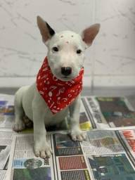 Bull Terrier- Filhotes a pronta entrega,