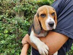 Beagle femea com garantias