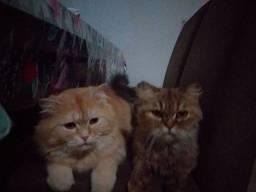 Casal de gatos persa