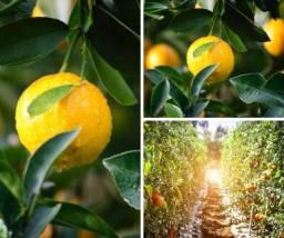 Como Podar Plantas Frutíferas