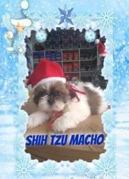 Shih tzu macho super amorosos