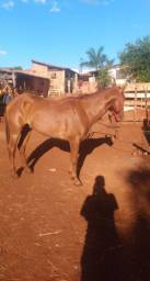 Vendo cavalo QM pronto no laço!