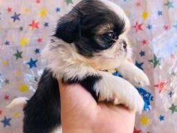 Cachorrinho Shitzu macho gordinho pequeno
