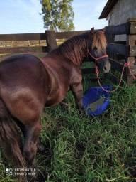Cavalo petiço manço