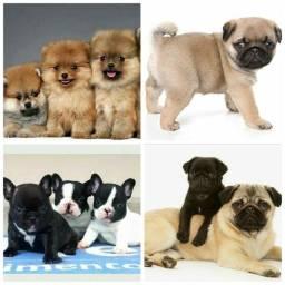 Ate 12x , Pug 1.099 , bulldog francês 1.799 e spitz fêmea 2.599