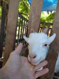 Título do anúncio: Filhote de cabra