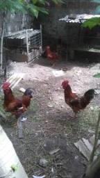 Vendo galos e galinhas