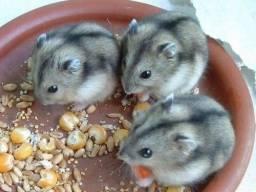 Título do anúncio: Hamster Anão Russo - Macho