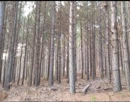 Título do anúncio: Compro árvores de Pinos ilhote