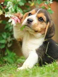 Beagle fêmea linda com primeira consulta grátis