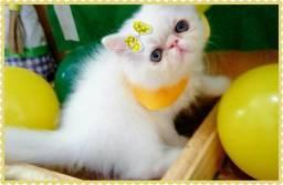 Belíssima gata persa