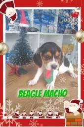 Beagle macho uma graça