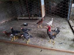 1 galo, 1 galinha, 7 frango, 9 pintinho