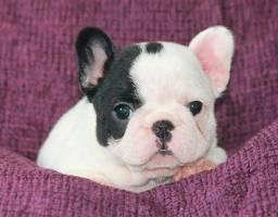 Bulldog Francês fofinho