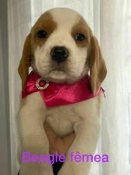 Beagle garanta hoje o seu filhote