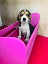 Beagle Fêmea Tricolor a pronta entrega.