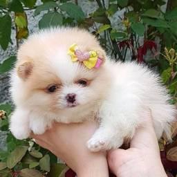Bebes miniaturas de lulu da pomerania! Parcelamos