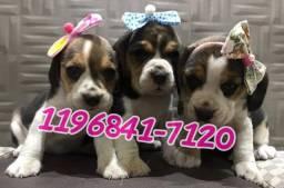 Lindos filhotes de Beagle a pronta entrega só aqui.Machos e fêmeas com pedigree