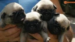 Doação de Filhotes de Pug