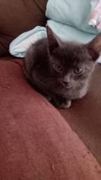 Procuro gatinho cinza para Adoção