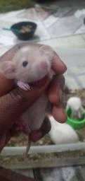 Vendo rato dumbo tenho femia e macho disponível aceito cartão de crédito e débito