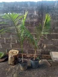 Título do anúncio: palmeira imperial com 1,60 de altura