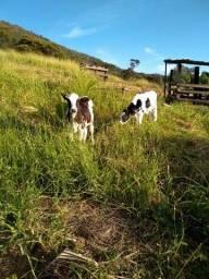 gado holandes criação para touro bez pouso alto sul de minas ver frete