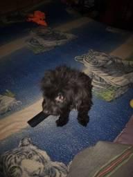 Poodle numero 1 femia to vendendo por mutivo de viagem