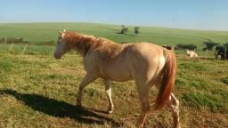Cavalo Cremelo Quarto de milha com registro