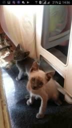 Vendo gatos siameses filhotes macho 2 meses e meio cel 96475.9628. obs. tem a mãe