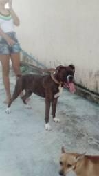 Cachorra boxer com 6 meses com todas as vacinas importadas em dia