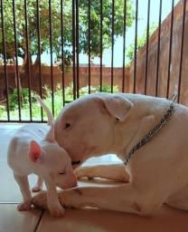 Filhotes de Bull Terrier disponíveis