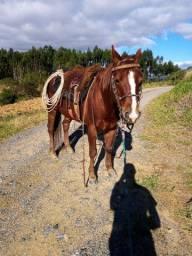 Cavalo QM puro, para lida